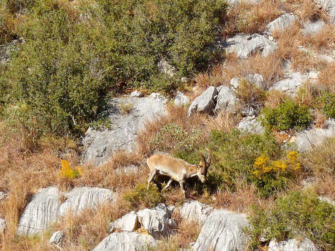 Bouquetin dans le Parc Natural del Montgrí - Photo Catalogne.info